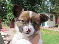 Chihuahua to Papillon male puppy. $350. Vet checked,