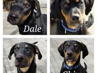 Meet Chip and Dale! These two 5 month old rottie mix