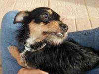 Chip is a 2 year old male wire-hair terrier mix. He is