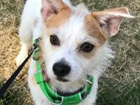 Wire haired terrier mix; 12 lbs, 8 months  Chip is a