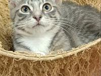 Chipper's story I'm an adorable silver tabby kitten who
