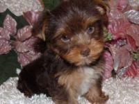 Chipper is a chocolate & tan yorkie male. He is going