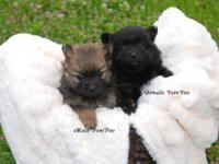 I have one female dark chocolate PomPoo for sale. She