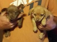 Chiweenee puppies for sale they were born on 8-13-2015