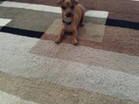 This is a female chiweenie. she is 5 months old and has