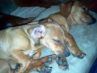 Chiweenies Born 04/03/2012 $150 1 Female Red as of 7/31