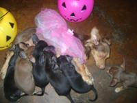 hi we are chiweenie puppies my mom is a dachshund, and