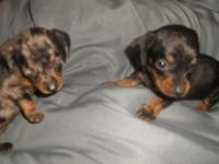 Mini Dachshund combined with Chihuahua - purchased a
