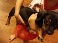 Chiweenie puppy for sale loves to play with toys and is