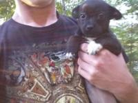 Female chiweenie 5 Mos old. Very small puppy. She is 3