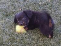 We have a female and male cheweenie 8 weeks old