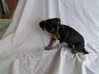 Chiweenie Female Puppy Born March 14, 2015 She wants