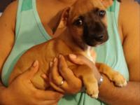 I have a female Chiweenie available. She is being