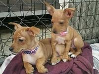 Chiweenie mix pup's story For Adoption: Sweeney, Babe,