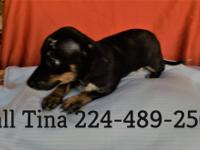 We have beautiful Chiweenie puppies for sale. They are