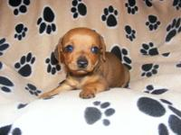 Female & Male 8 week old chiweenie puppies need a good