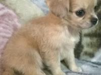 I have 8 little chiweenie (chihuahua/dachshund) young
