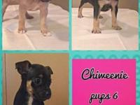 I have chiweenie young puppies offered. A tan lady and