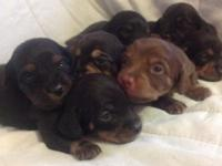 I have Chiweenie Puppies available just in time for the