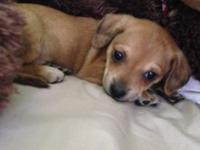 Males/Females 8 weeks 50/50 dach/chi Mini size will be