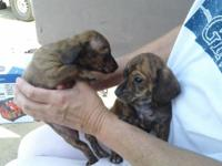 I have 2 chiweenie puppies for sale. They are 8 weeks