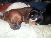 we have 3 cute chiweenie female puppies born May 2nd.
