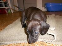 3 Chiweenie puppies for loving homes, 2 black n tan