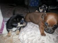 Cute chiweenie puppies ready for a good home. Born May