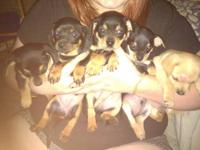 We have 5 chiweenie puppies for sale. They are just 8