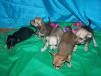 Beautiful chiweenie puppies for sale. 3 Males I'm