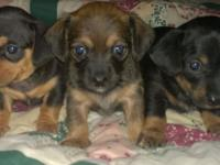 Best of two sweet types! Dachshund and Chihuahua =