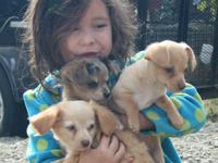 3 Male Chihuahua Dachshund Puppies. All three are