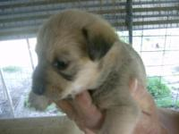 Chizer/Chihuahua / Miniature Schnauzer Hybrid Dogs born