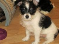 PRICED REDUCED, 300.00 for this lovable playful boy!