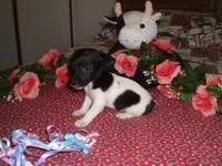 CKC little shorty jack russell terrier. Chloe is a
