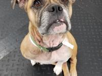 Meet Chloe!  She is a sweet 5-7 yr old bulldog /pug mix
