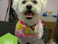 Meet Chloe!  Chloe is a 6-years-old Bichon Mix weighing