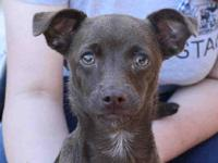 Chloe is a 6-month old spayed female, brown Chihuahua -