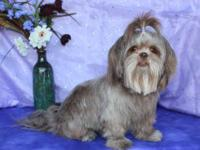 Stunning Dark Rich Chocolate Shih~Poo Female with a