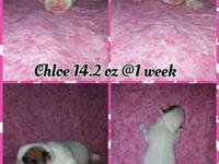 Chloe is a beautiful White & Fawn French Bull Tzu. Dam