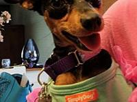 Chloe's story Name: Chloe Breed: Min Pin Age: 3 Color: