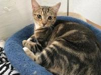 CHLOE is a female Brown Tabby kitten who is 8 months