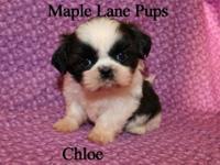 Chloe is a Tiny Brindle & White AKC Registrable female