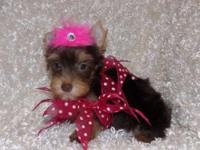 Chloe is a chocolate & tan female yorkie. She has a