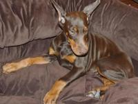 Chloe is a red/rust Champion sired Doberman female ,