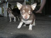 Chocalate/Tri Female Chihuahua Puppy Dad is CKC
