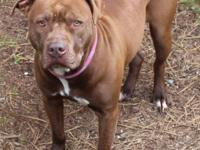 Choco-Latte is a 5 yr old spayed female pit that came