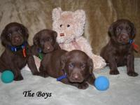 Chocolate lab puppies born on Oct. 6, 2015. We have (3)