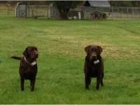 2 male 2 female AKC FULL registration chocolate