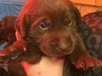 AKC registered male and female chocolate labs